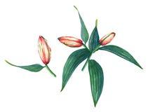 Rosa Lilie des Aquarells Stockfoto