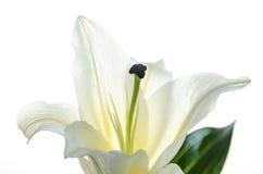 Rosa Lilie lokalisiert auf weißer Hintergrund selektivem Fokus, Beschneidungspfad eingeschlossen Lizenzfreies Stockfoto