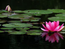 Rosa Lilienblume Stockfoto