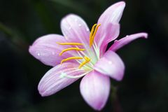 Rosa Lilienblume in der Dunkelheit Stockfotografie