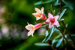 Rosa Lilienblume der Impala drei Stockfotos