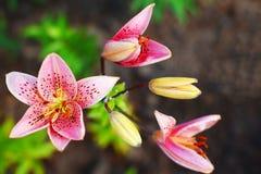 Rosa Lilienblume und -knospen Lizenzfreies Stockfoto
