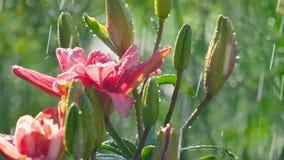 Rosa Lilienblume unter Regen stock footage
