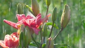 Rosa Lilienblume unter Regen stock video