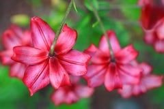 Rosa Lilienblumen Stockfoto