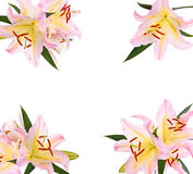 Rosa Lilienblumen lizenzfreies stockbild