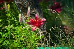 Rosa Lilienmehrjährige pflanze Stockbild