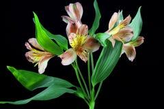 Rosa liliesflowers im Vase, auf weißem Hintergrund Stockbild
