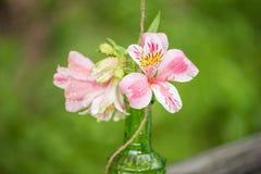 Rosa lilium med waterdrops på den i en glasflaska Royaltyfri Fotografi