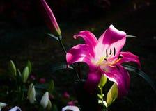 Rosa Liliy im Garten Lizenzfreie Stockfotografie