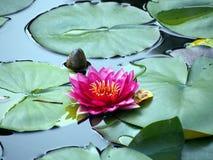 Rosa lilja Royaltyfria Foton