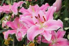 Rosa lilja Royaltyfria Bilder