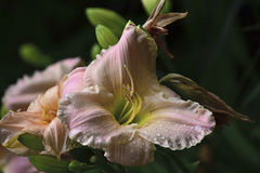 Rosa lilja med droppar av vatten på kronbladen Royaltyfria Foton