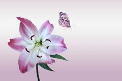 Rosa lilja med fjärilen Arkivfoto