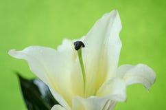 Rosa lilja som isoleras på den inklusive snabba banan för gul bakgrund Royaltyfri Foto