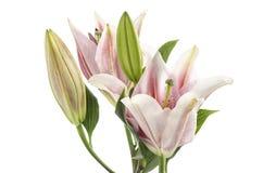 Rosa lilja som isoleras på den inklusive snabba banan för vit bakgrund Fotografering för Bildbyråer