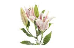 Rosa lilja som isoleras på den inklusive snabba banan för vit bakgrund Arkivbild
