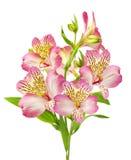 Rosa liljar Royaltyfria Bilder