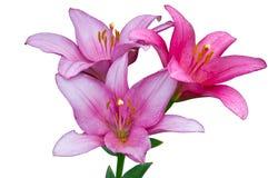 Rosa liljor efter regn royaltyfri bild