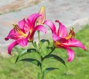 Rosa liljor för blomning i en trädgård Arkivfoto