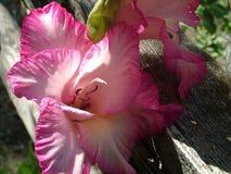 Rosa liljor på ett trästaket Arkivfoton
