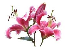 Rosa liljor på vit Royaltyfri Fotografi