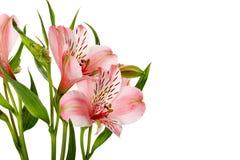 Rosa liljor som isoleras på den vita bakgrunden Royaltyfria Foton