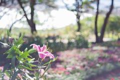 Rosa lilly Stockbilder