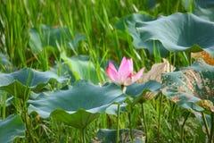 Rosa lilly Stockbild