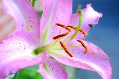 Rosa lilly Lizenzfreies Stockbild