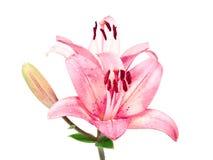 Rosa lilly getrennt auf Weiß Lizenzfreie Stockbilder