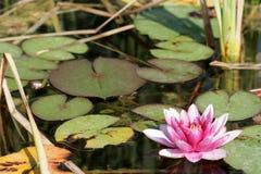 Rosa lilly na água Fotos de Stock