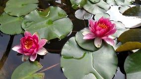 Rosa Lily Pad stockbilder