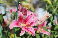 Rosa LilyPink Lily Flower 21-12-17 Arkivfoton