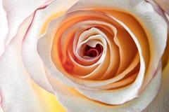Rosa lisamente Fotografia de Stock Royalty Free