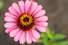 Rosa liten solZinnia Arkivbild