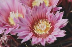 rosa litet för blomma Royaltyfri Bild