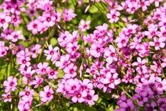 rosa litet för blommor Royaltyfria Foton