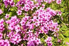 rosa litet för blommor Arkivfoto
