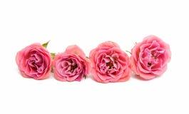 Rosa litet steg Royaltyfria Foton