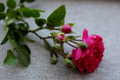 Rosa litet steg med rosebuds som isolerades på grå bakgrund Royaltyfri Fotografi