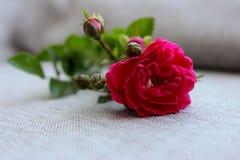 Rosa litet steg med rosebuds som isolerades på grå bakgrund Fotografering för Bildbyråer
