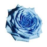 Rosa ljus - den blåa blomman på vit isolerade bakgrund med den snabba banan Closeup inga skuggor Arkivbilder
