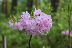Rosa ljust - purpurfärgad grupp för rhododendronblommablomning arkivfoto