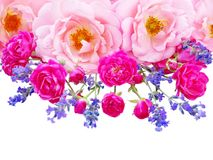 Rosa lockiga rosor, vibrerande rosa rosor och provence lavendelisola royaltyfri foto