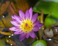 Rosa Lotos im mittleren Teich Stockfotografie