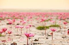 Rosa Lotos im See, Sonnenaufgangzeit Stockfotos