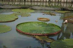 Rosa Lotos im Teich mit Sonnenlicht stockfotos