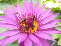 rosa Lotos mit Bienen Stockfotografie