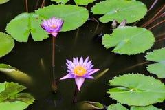 Rosa lotos på vattnet arkivbild